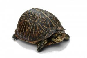 800px-Florida_Box_Turtle_Digon3_re-edited